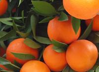 Comunidad Valenciana, la región de las naranjas ecológicas
